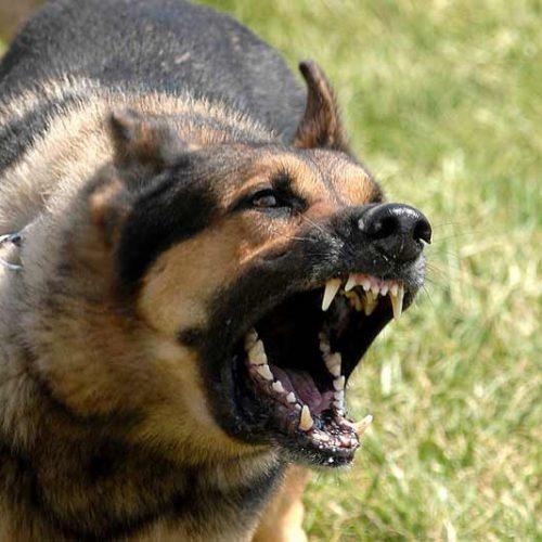 Cómo educar el ladrido de un perro para la caza II