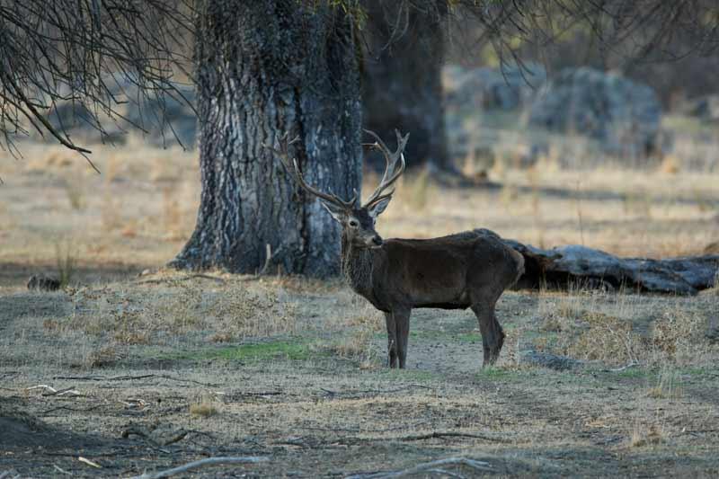 fechas-caza-ciervos