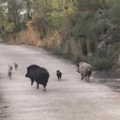 Cruces de cerdo vietnamita y jabalí en la Comunidad Valenciana