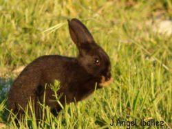Conejo-Negro-Solo