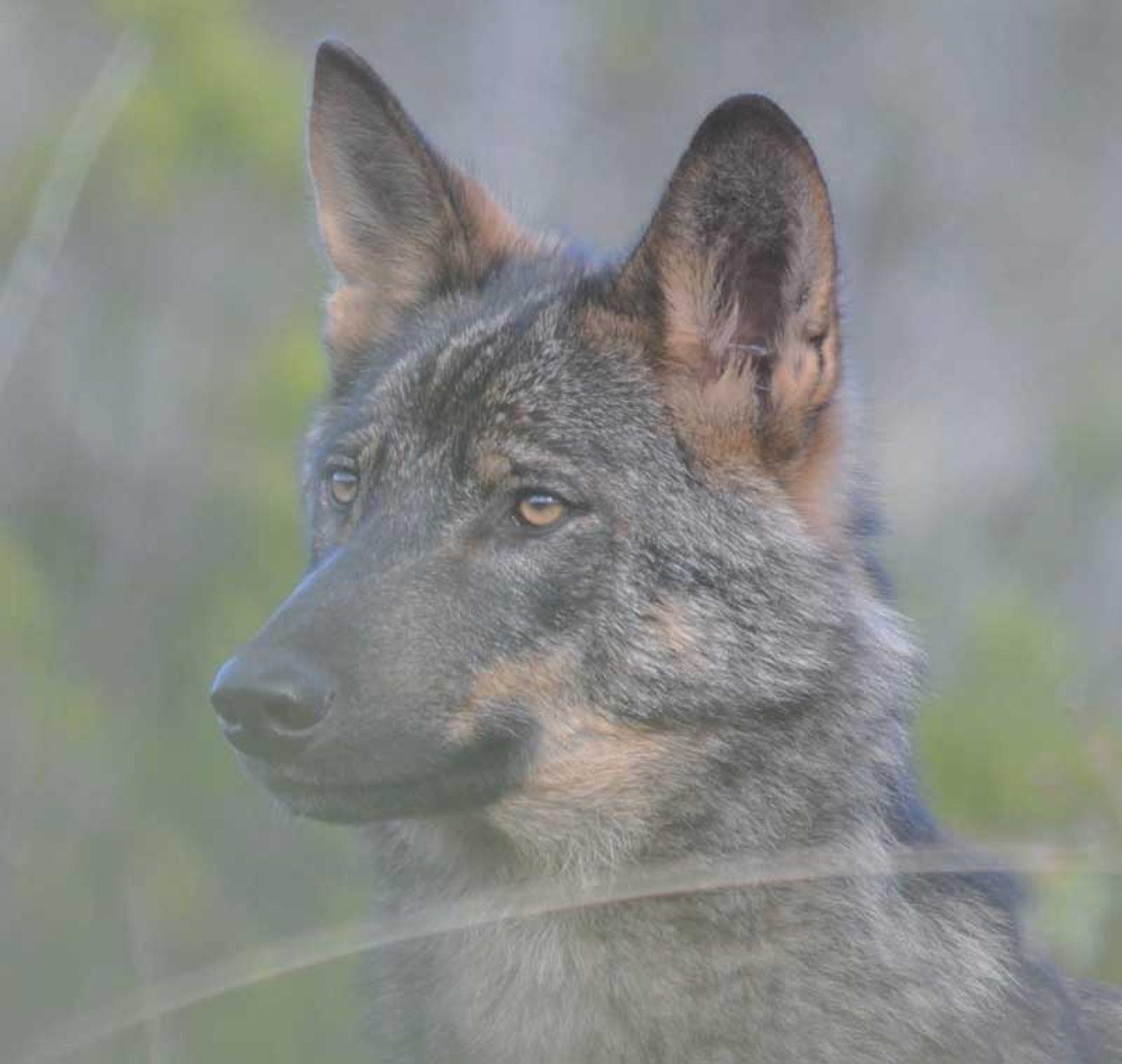 El negocio del Lobo: el sufrimiento de algunos, un lucro para otros