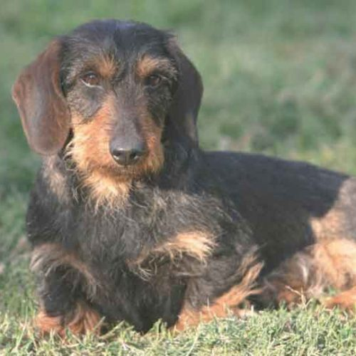 El Teckel, enfermedades y soluciones veterinarias