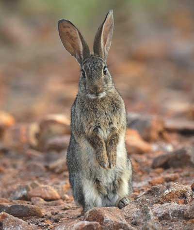 Conejos-de-monte_conejo