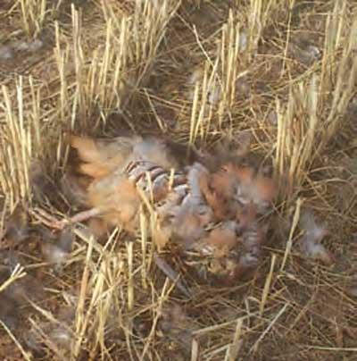 La-agricultura-Mata-la-caza-perdiz-muerta