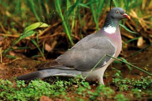 palomas-patos-becadas-y-zorzales-4