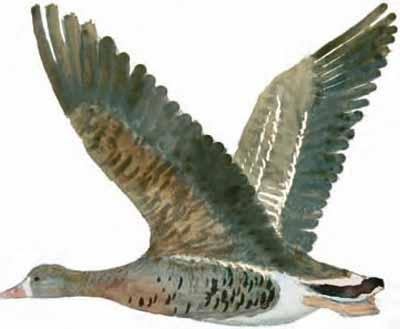 Ansar-careto-grande