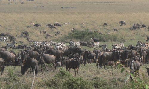 Caza en africa de ñues y otras bestias