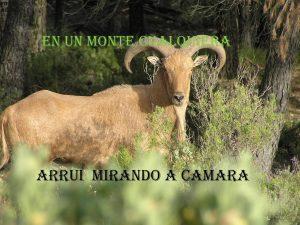 Caza-mayor-reportajes-nacional-situacion-del-arrui-en-España-76