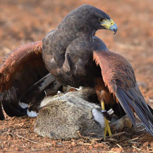 La elección del ave en cetrería