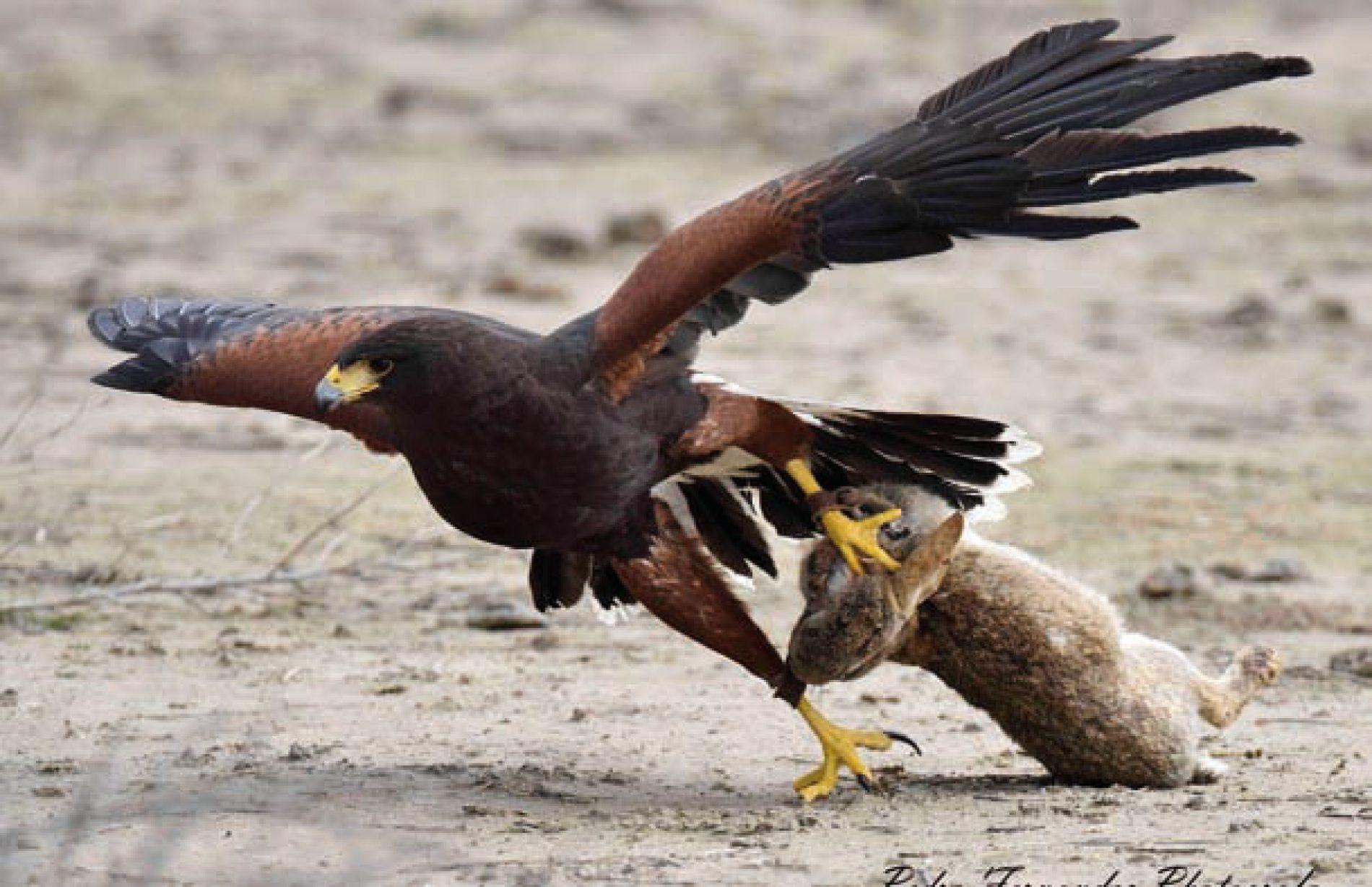 Características de las diferentes aves para cetrería