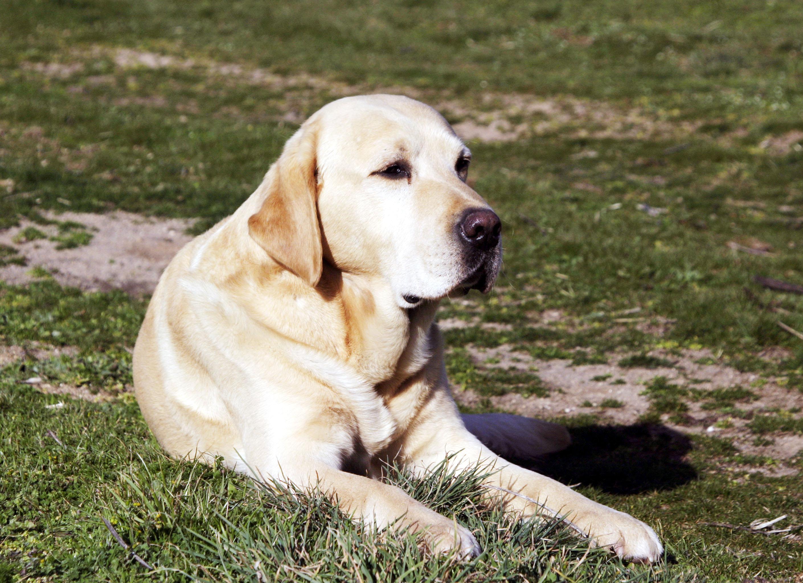 como hacer adelgazar a un perro labrador