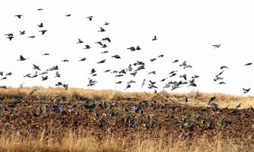 Artemisan apuesta por una gestión y caza sostenible para la recuperación de la tórtola