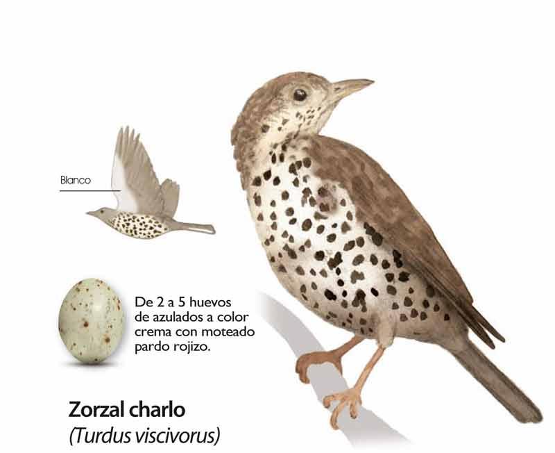 Zorzal-Charlo