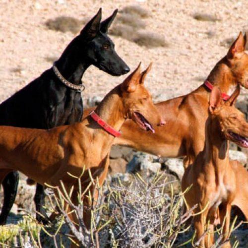 El podenco, enfermedades y soluciones veterinarias.