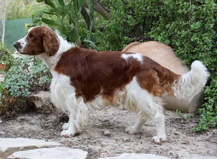 perros-razas-home-welsh-springer-spaniel