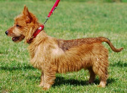 perros-razas-home-terrier-australiano