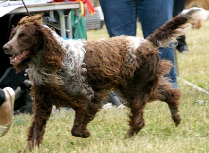 perros-razas-home-spaniel-de-pont-audemer