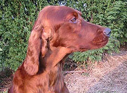 perros-razas-home-setter-irlandes-rojo
