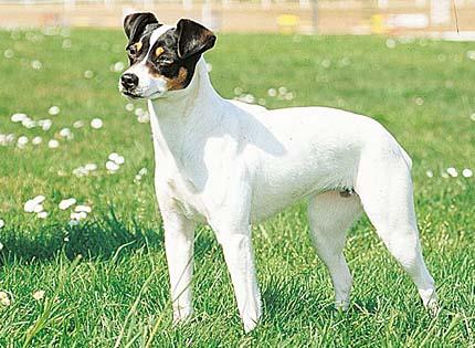 perros-razas-home-ratonero-bodeguero-andaluz