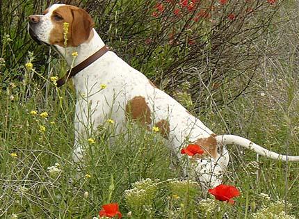 perros-razas-home-pointer