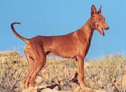 perros-razas-home-podenco-canario