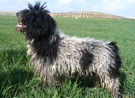 perros-razas-home-perro-de-agua-espanol