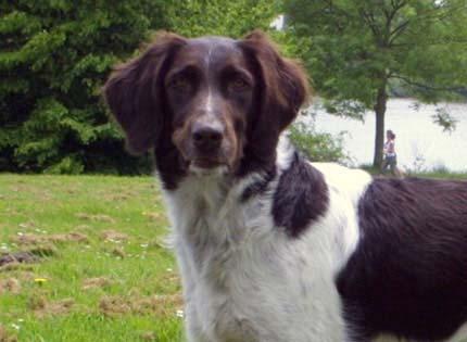 perros-razas-home-pequeno-munsterlander