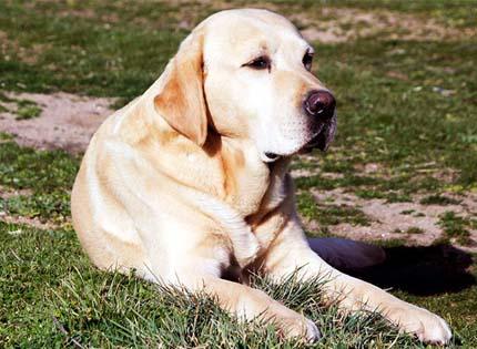 perros-razas-home-labrador-retriever