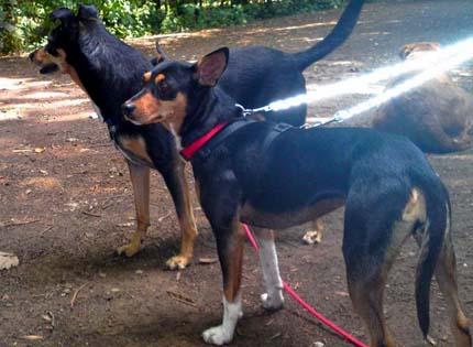 perros-razas-home-gos-rater-valenciano