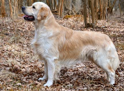 perros-razas-home-golden-retriever