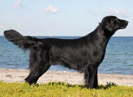 perros-razas-home-flat-coated-retriever