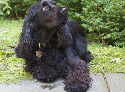 perros-razas-home-field-spaniel