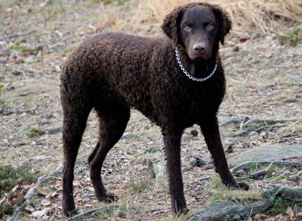 perros-razas-home-curly-coated-retriever