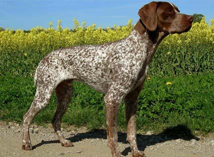 perros-razas-home-braco-frances