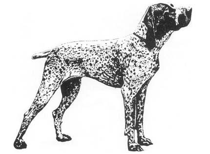 perros-razas-home-braco-de-auvernia