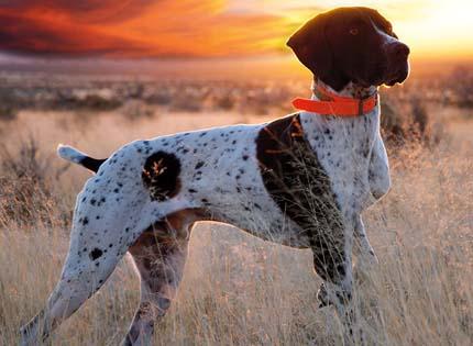perros-razas-home-braco-aleman-de-pelo-corto