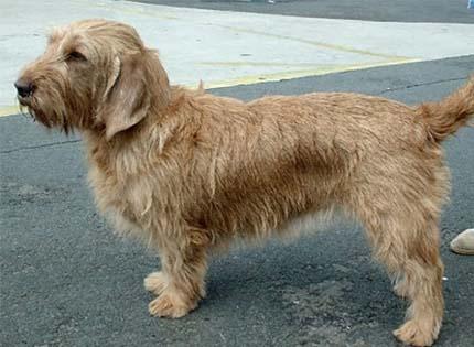 perros-razas-home-basset-leonado-de-bretana