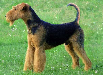 perros-razas-home-airedale-terrier