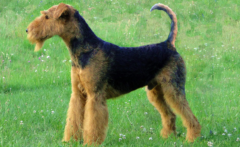 perros-razas-airedale-terrier-01