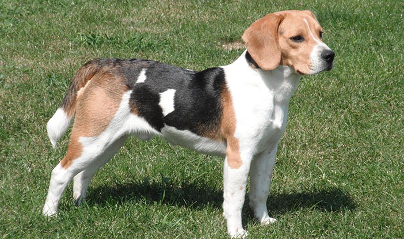 Ficha Y Características Del Beagle