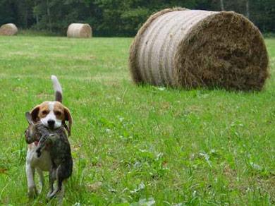 perros-razas-beagle-02