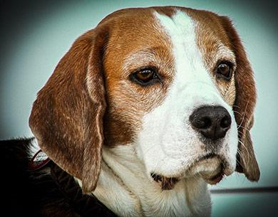 perros-razas-beagle-03