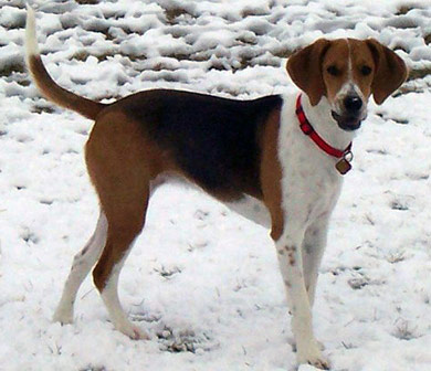 perros-razas-beagle-harrier-03