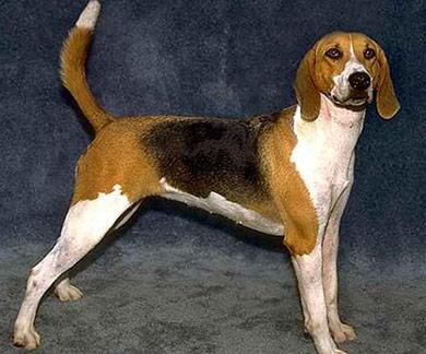 perros-razas-beagle-harrier-04