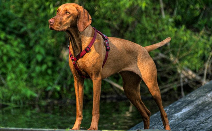 perros-razas-braco-hungaro-de-pelo-corto-01