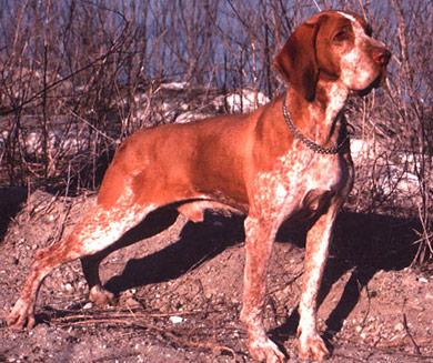 perros-razas-braco-italiano-03