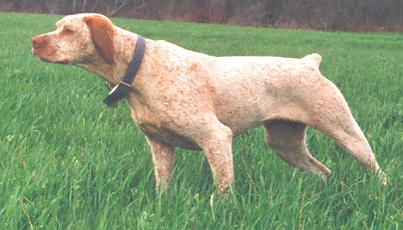 perros-razas-braco-borbosenado-01
