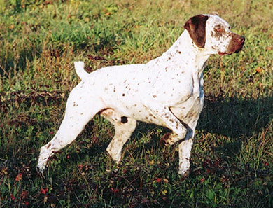perros-razas-braco-borbosenado-02