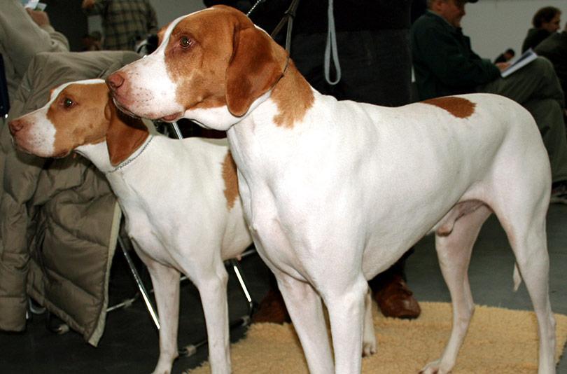 perros-razas-braque-saint-germain-01
