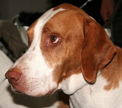 perros-razas-braque-saint-germain-02